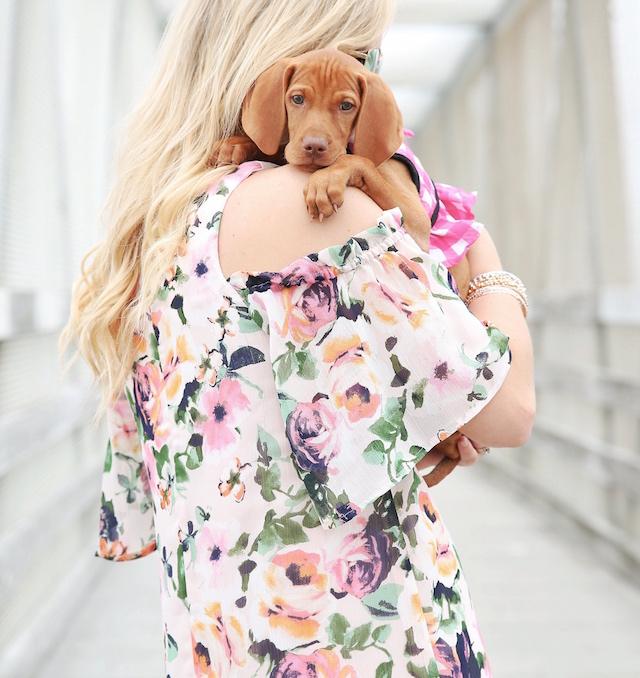 #LouisetheViz 12-week-old Vizsla puppy
